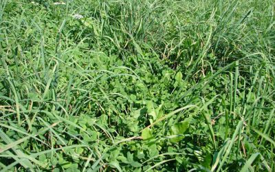 GOLDFIELDS ORCHARD ALFALFA